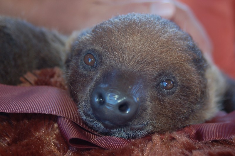 A Sloth Featured in Our Interactive Animal Encounter in Orlando, FL